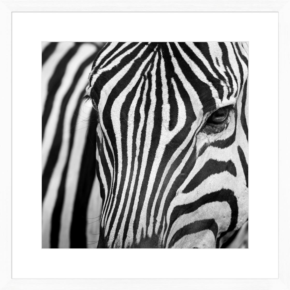 Zebra-I_white