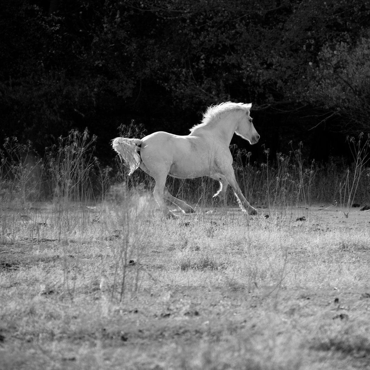 white-stallion-II