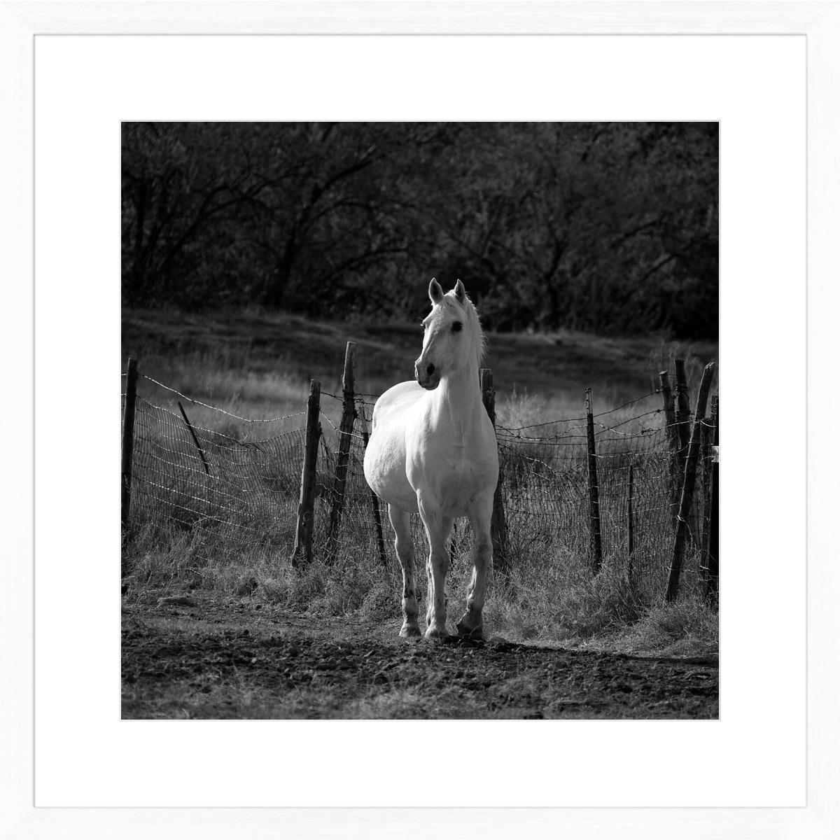 white-stallion-I_white