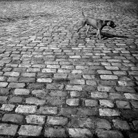 Dog on Cobbles