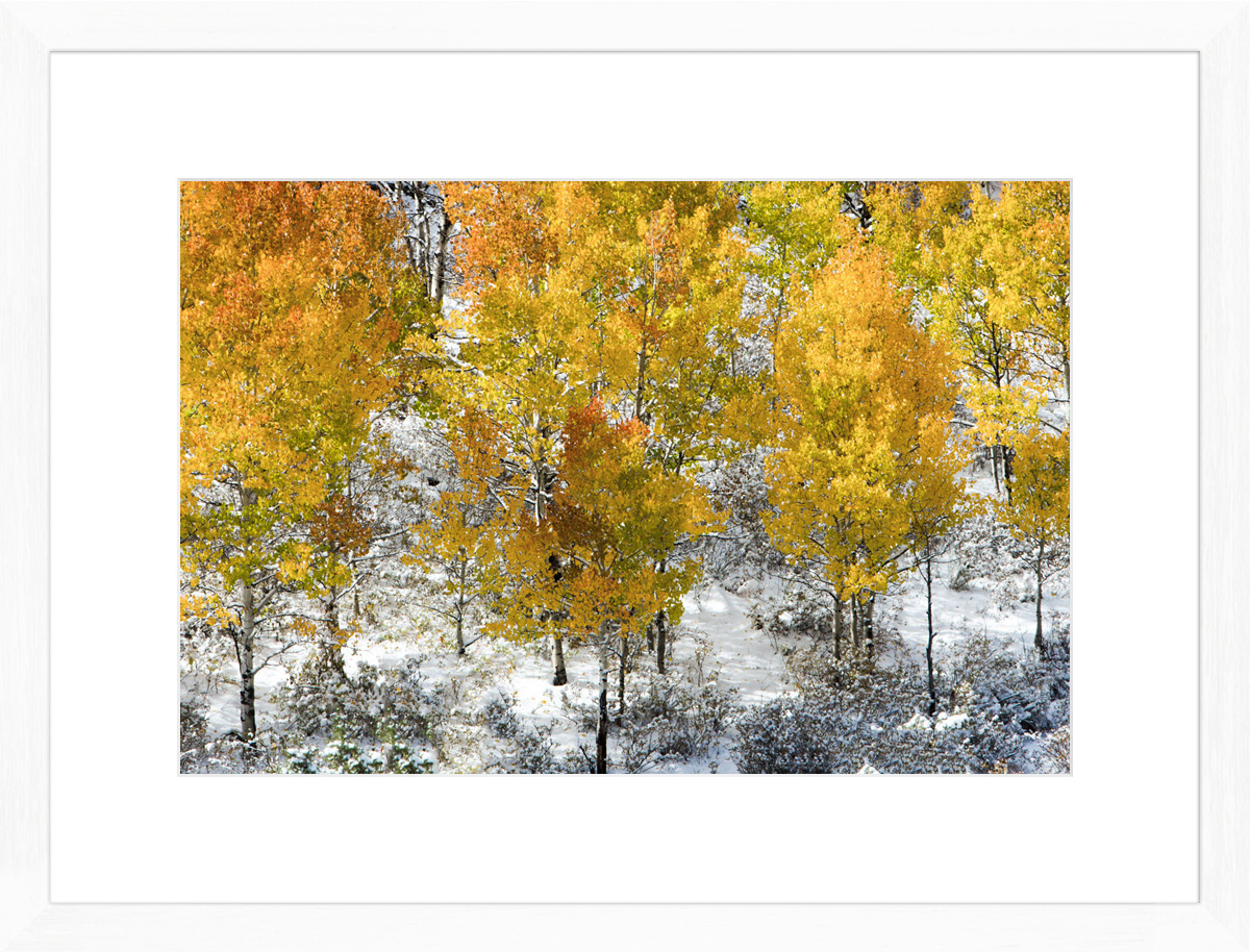 Colorado-Saplings-White