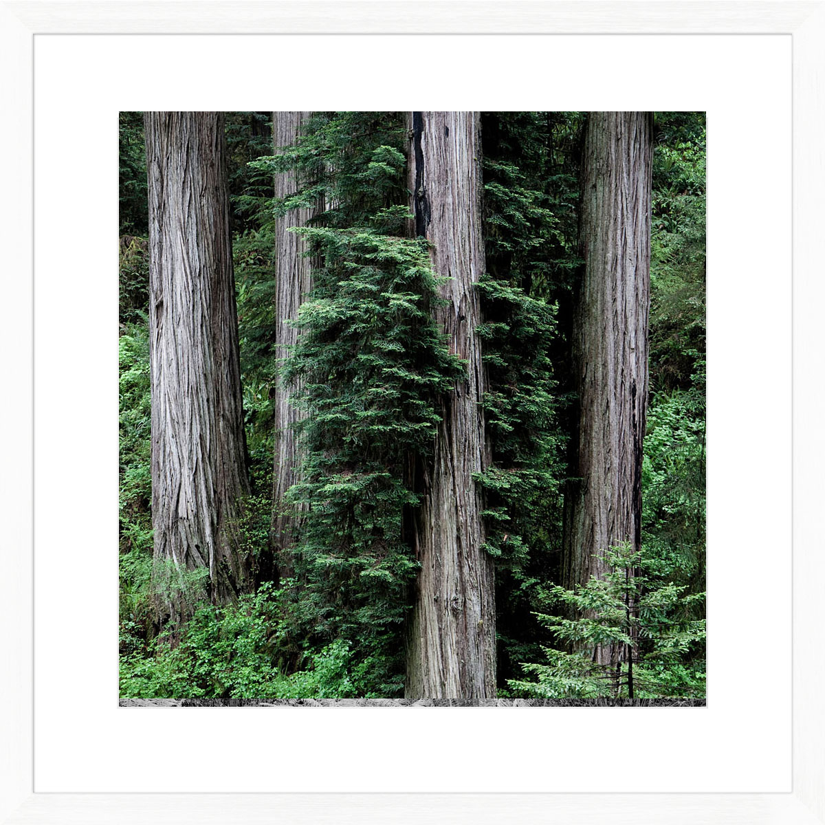 Redwoods_white
