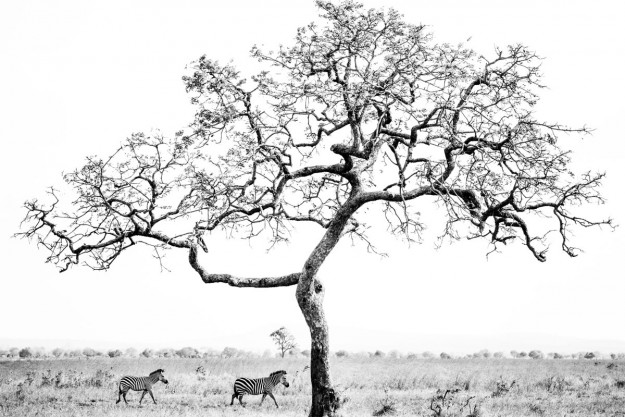 Mikumi zebras
