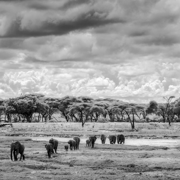 Elephant march in Ruaha