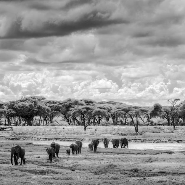 Elephant march in Ruaha