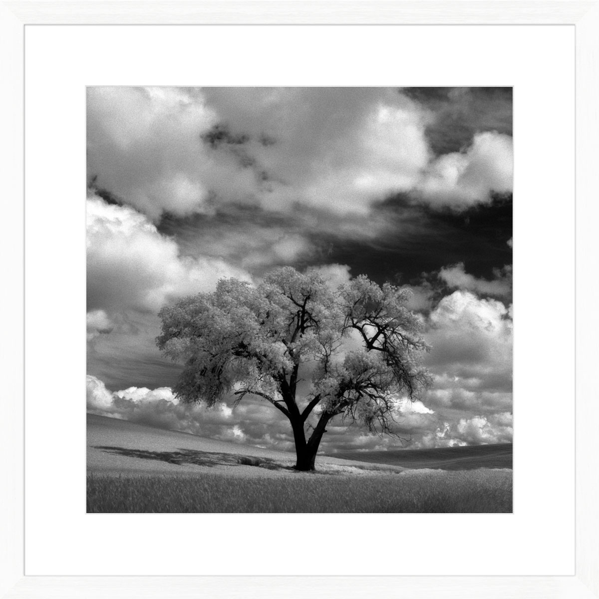 Palouse-tree-photographic-print-white