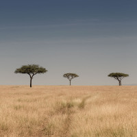 Serengeti Plane – 3 trees
