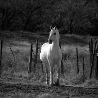 White Stallion I