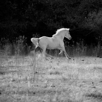 White Stallion II