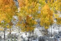 Colorado Saplings