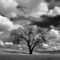Palouse Lone Tree