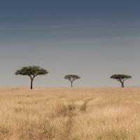 Serengeti Plane – 3 trees